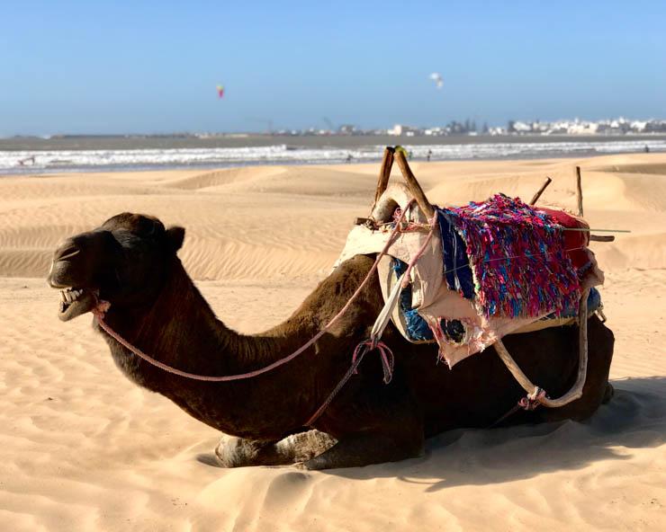camel essaouira
